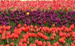 yellow tulip among red and purple